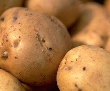 cara mudah bertanam kentang