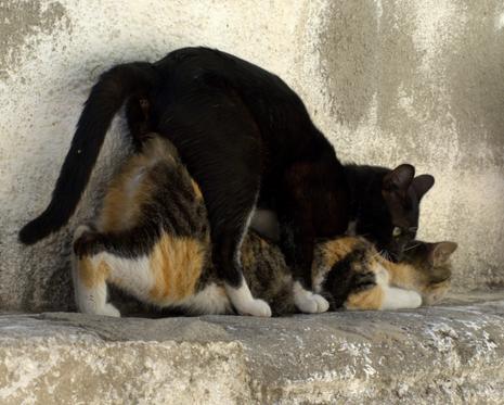 Reproduksi Kucing Felis Domestica Pendidikan Biologi