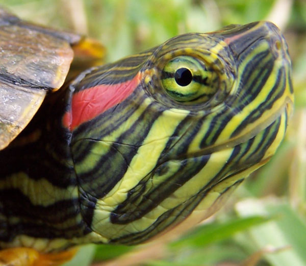 Red ear slider turtle male and female