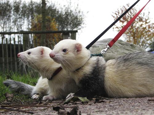 what is that it s a ferret our pets we love em