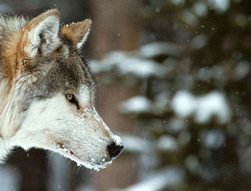 Wolves figure prominently in the mythology of nearly every Native