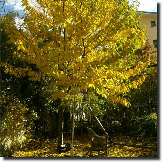 Il ciliegio dorato giardinoindiretta un giardino in diretta - Ciliegio da giardino ...