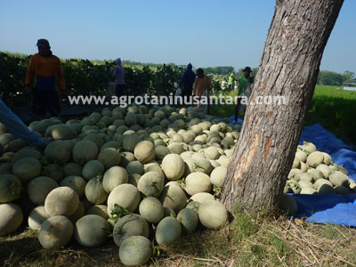 Teknis Budidaya Melon dengan Produk Pupuk Organik NASA | Agro Nusantara | www.agrotaninusantara.com