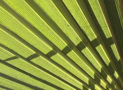 "Op Art Palm ""Stripe"", Photograph, Sarah Myers, S. Myers, abstract, plant, foliage, pattern, green, bright, art, repeat, zig-zag"