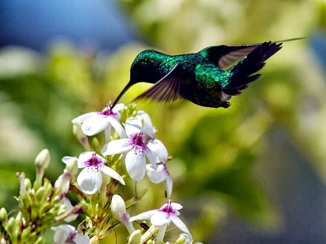 Foto Burung Kolibri Manggar Jantan