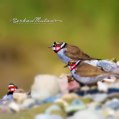 Little ringed plover Charadrius dubius