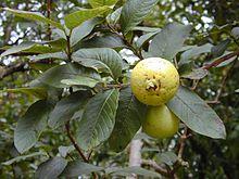 buah jambu biji, daun jambu biji, morfologi jambu biji