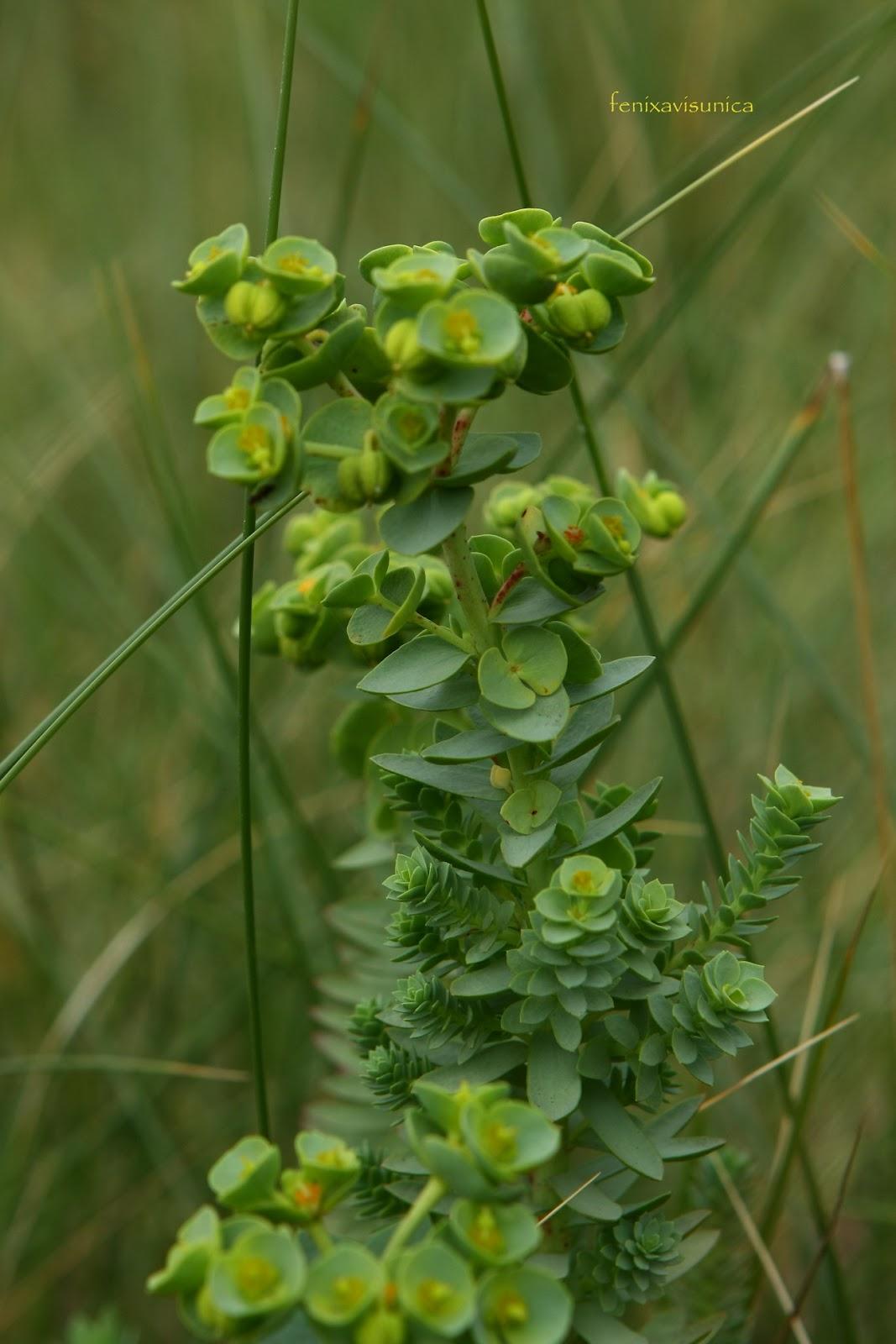 fenixavisunica .: Alrededor de Frexulfe ( II ): Las plantitas