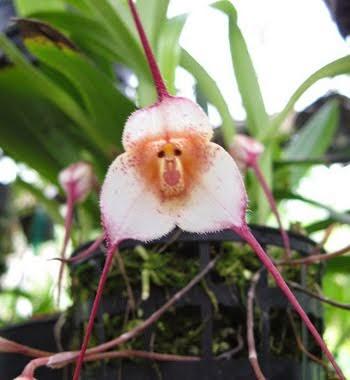 Orquídea Dracula símia