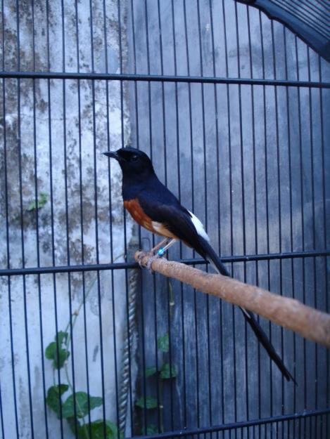 Harga Cucak Rowo Bulan Maret 2016   Kicau burung
