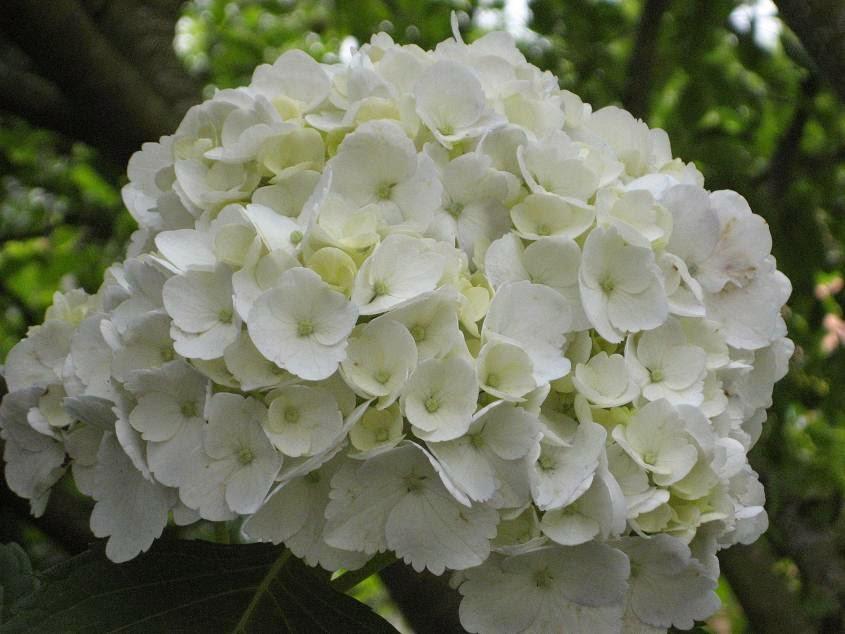 Flores y rboles hortensia - Cuando podar las hortensias ...