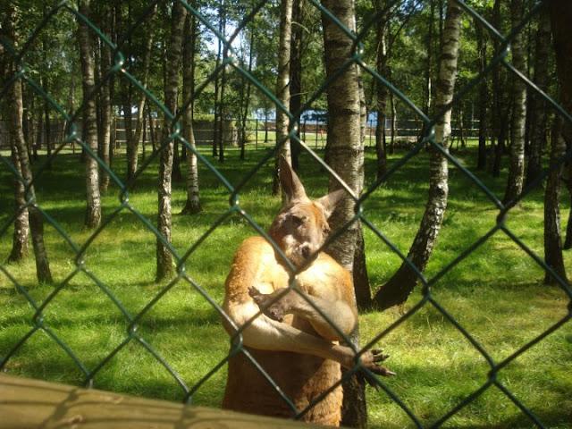 funny animal pictures, gangsta kangaroo