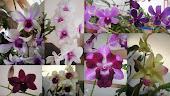 My Dendrobium