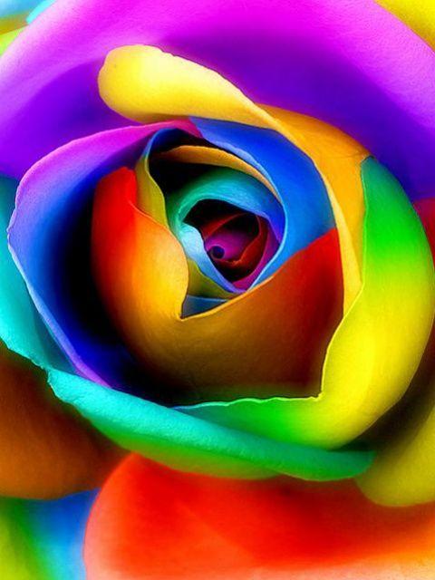 Las fotos mas alucinantes rosas de colores for What are rainbow roses