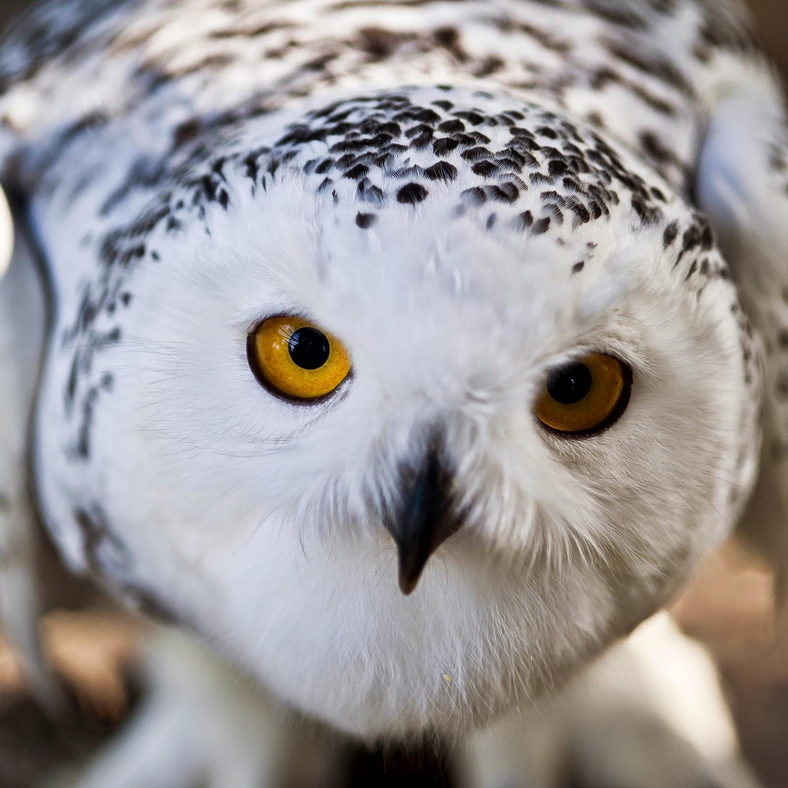 http://zoozon.blogspot.com/2014/12/gambar-burung-hantu-owl-bird-pictures-3.html