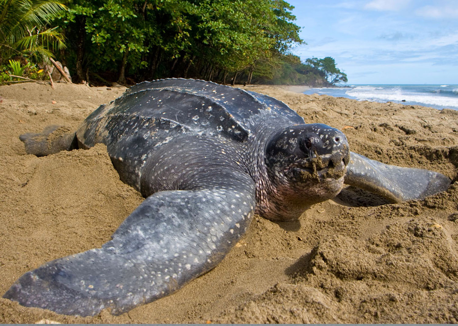 The Leatherback's Ecosystem Benefits