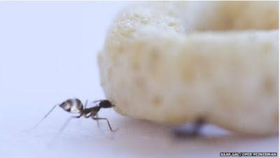 Cientistas desvendam segredo das formigas para carregar alimentos 'gigantes'