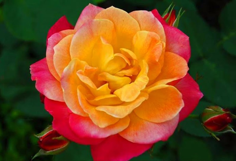 Beautiful Colorful Rose Flowers Backgrounds Images Pictures Online free delivery
