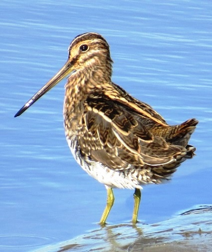 Snipe