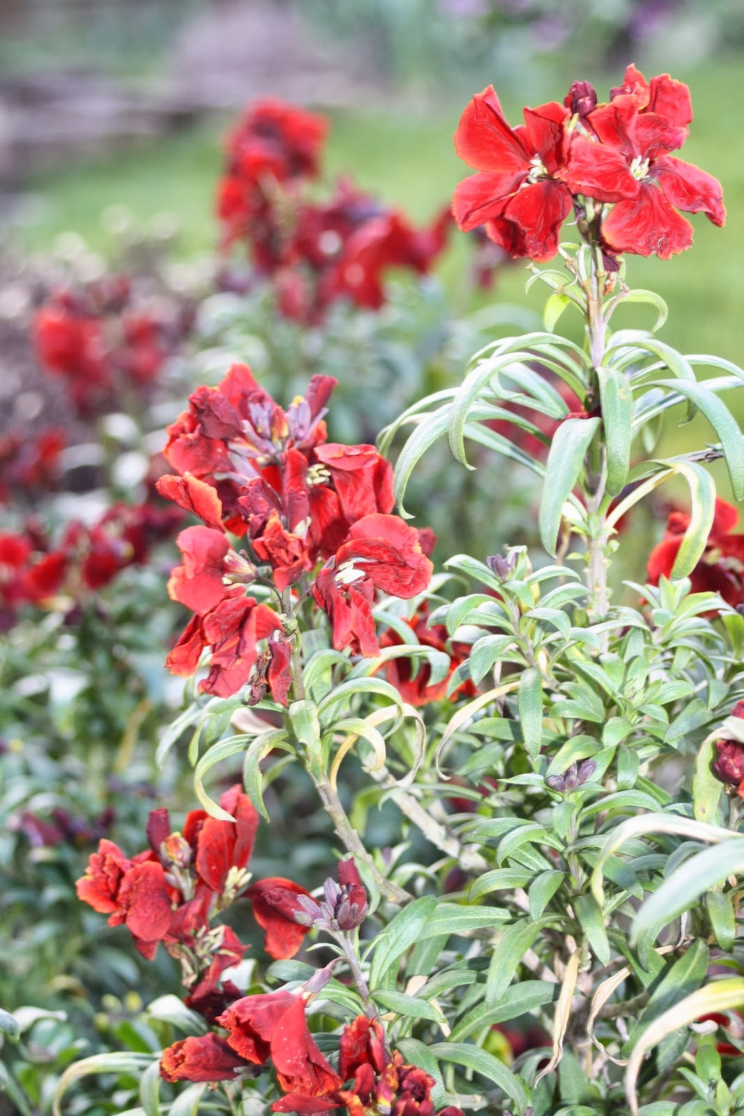 Wallflowers-spring-garden
