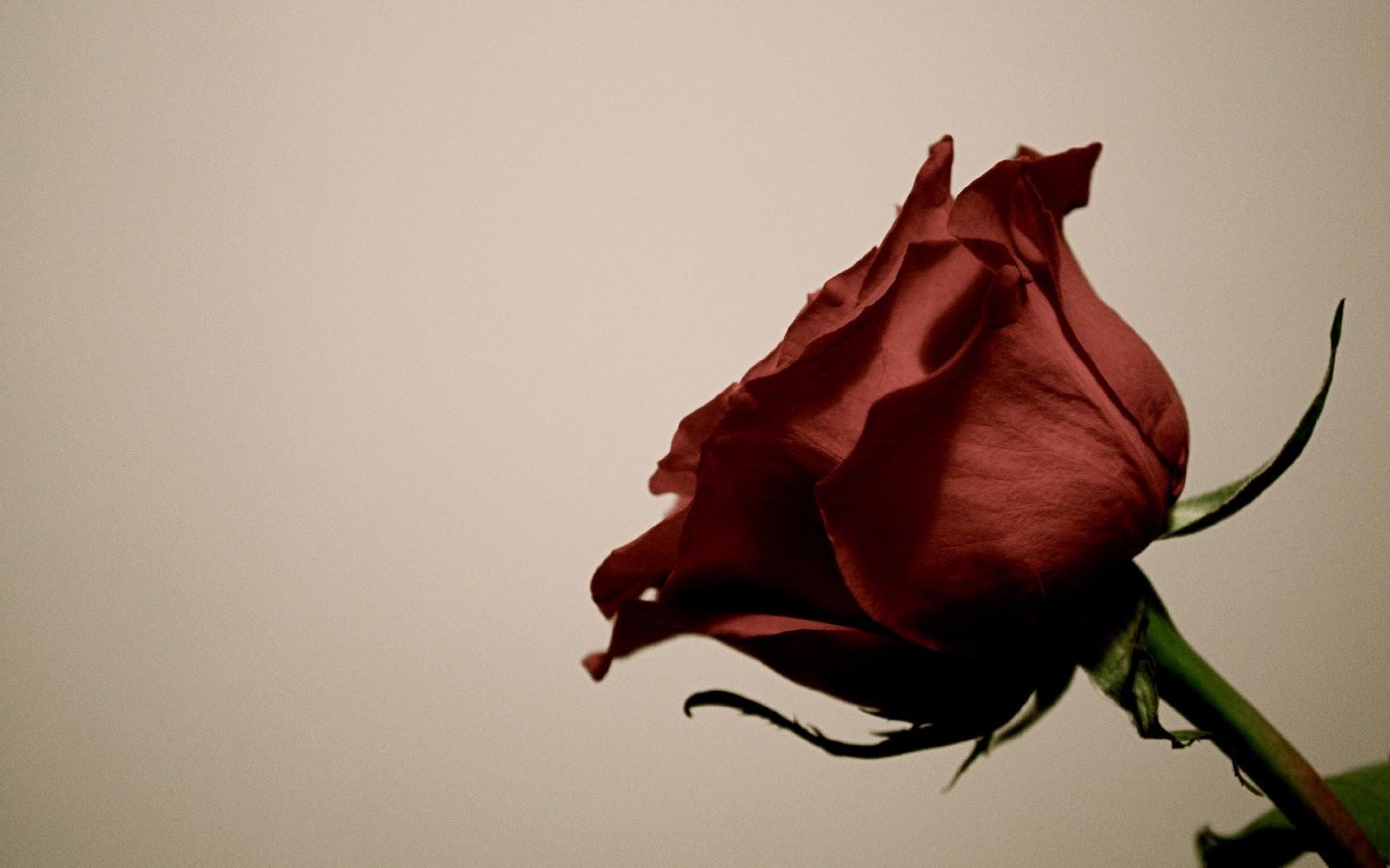 Red Rose Flower HD Widescreen Wallpaper