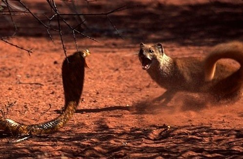 cobra mongoose stand off