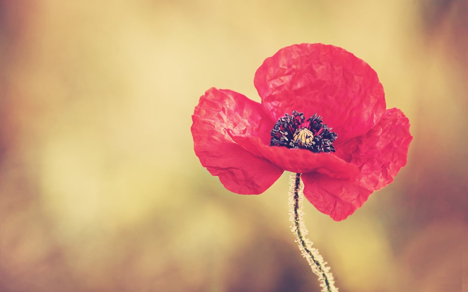 http://1.bp.blogspot.com/-RO1dHwFIicc/UGxrUAF5M9I/AAAAAAAAFH0/QEfVnJAUfPQ/s1600/Red_Poppy_Flower_wallpapers_1920x1200_wallpaperhere.jpg