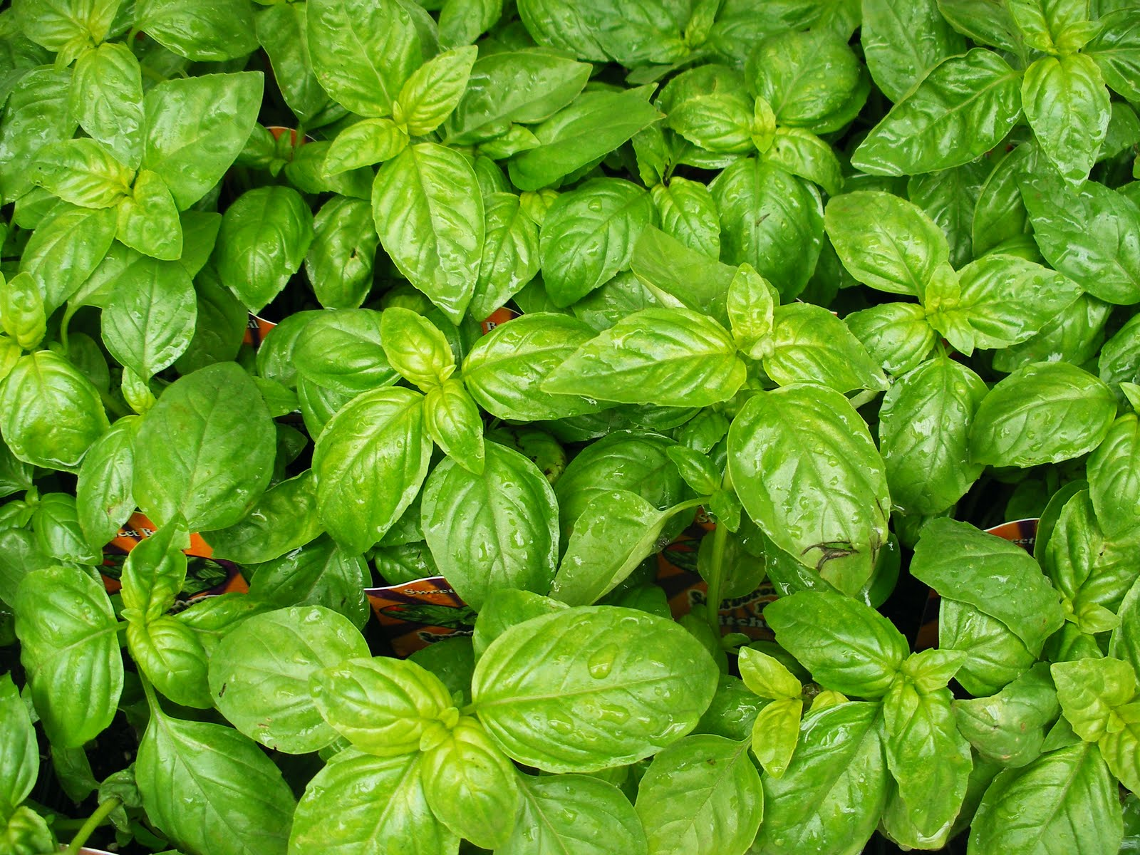 basil in arabic