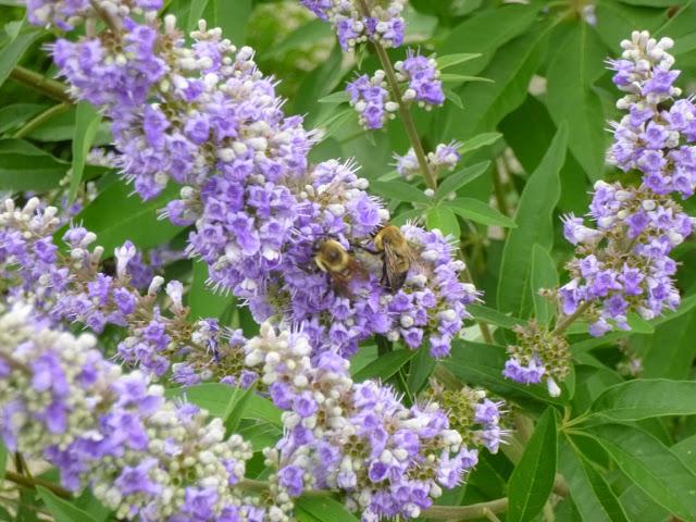 Bumble bees on chaste tree (Vitex agnus-castus) flower spike