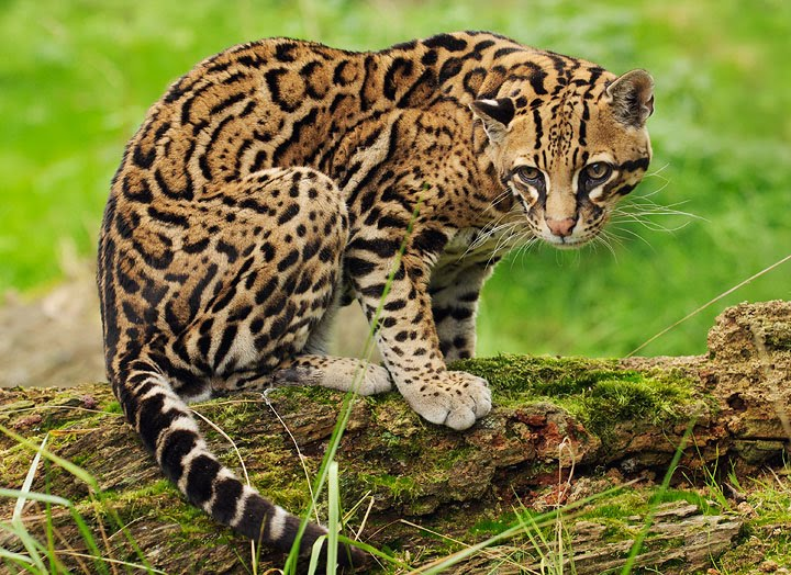 The ocelot animals lover - Chat type leopard ...