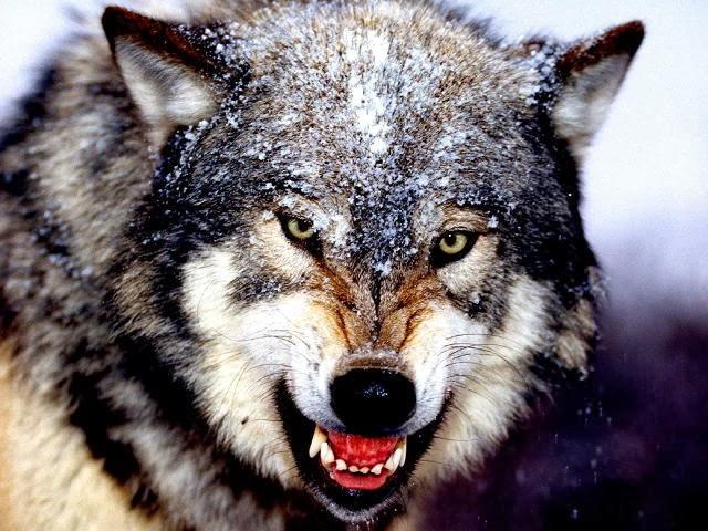 звериный оскал волка, волчья клыкастая пасть, волк атакует