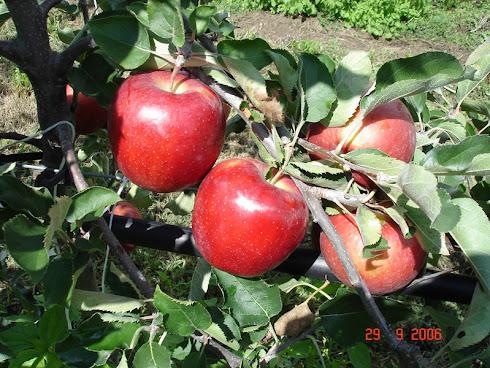 bodur elma-armut fidanları