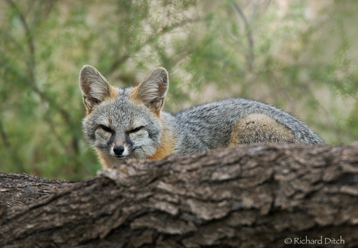 Gray fox habitat - photo#7