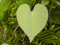 heart shaped green leaf