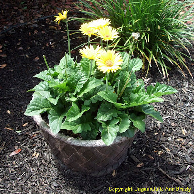Yellow Gerbera Daisy Plant in Ceramic Pot