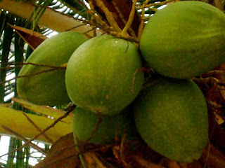 health_benefits_of_eating_coconut_fruits-vegetables-benefits.blogspot.com(11)