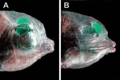 Pez ojos de barril o Pez cabeza transparente (Macropinna microstoma).