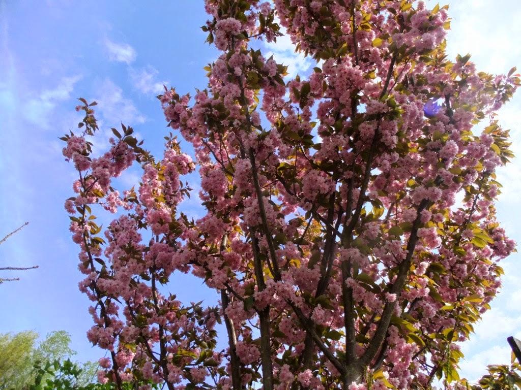 Blütenbäume in rosa