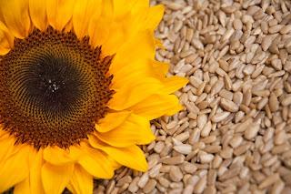 Khasiat Biji Bunga Matahari
