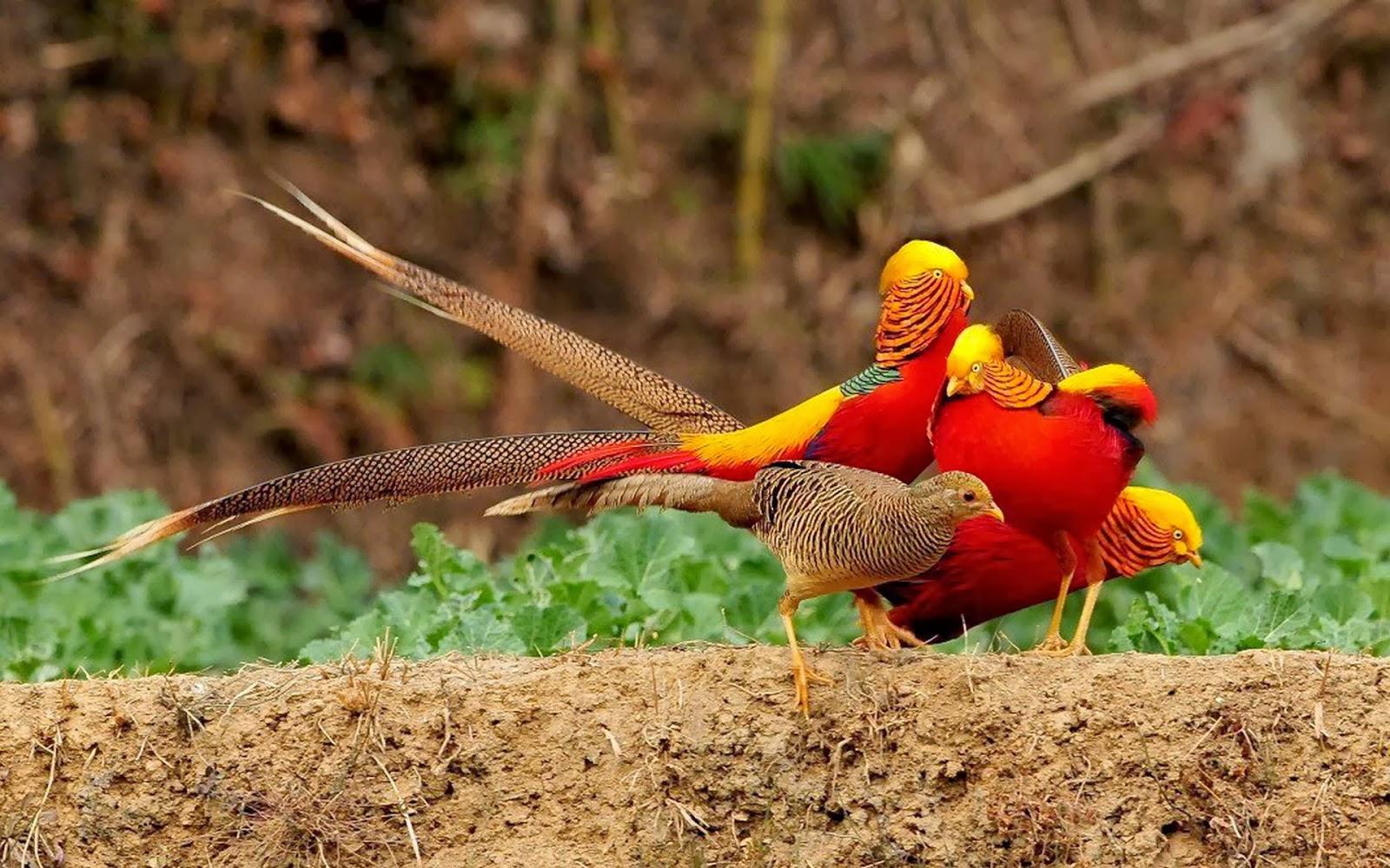 Golden pheasant birds hd wallpapers angelic hugs for Gold bird wallpaper