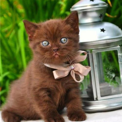 Brown kitten with shinning blue eyes