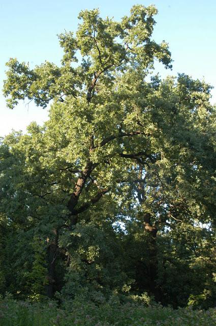 дубы, Сырецкий парк