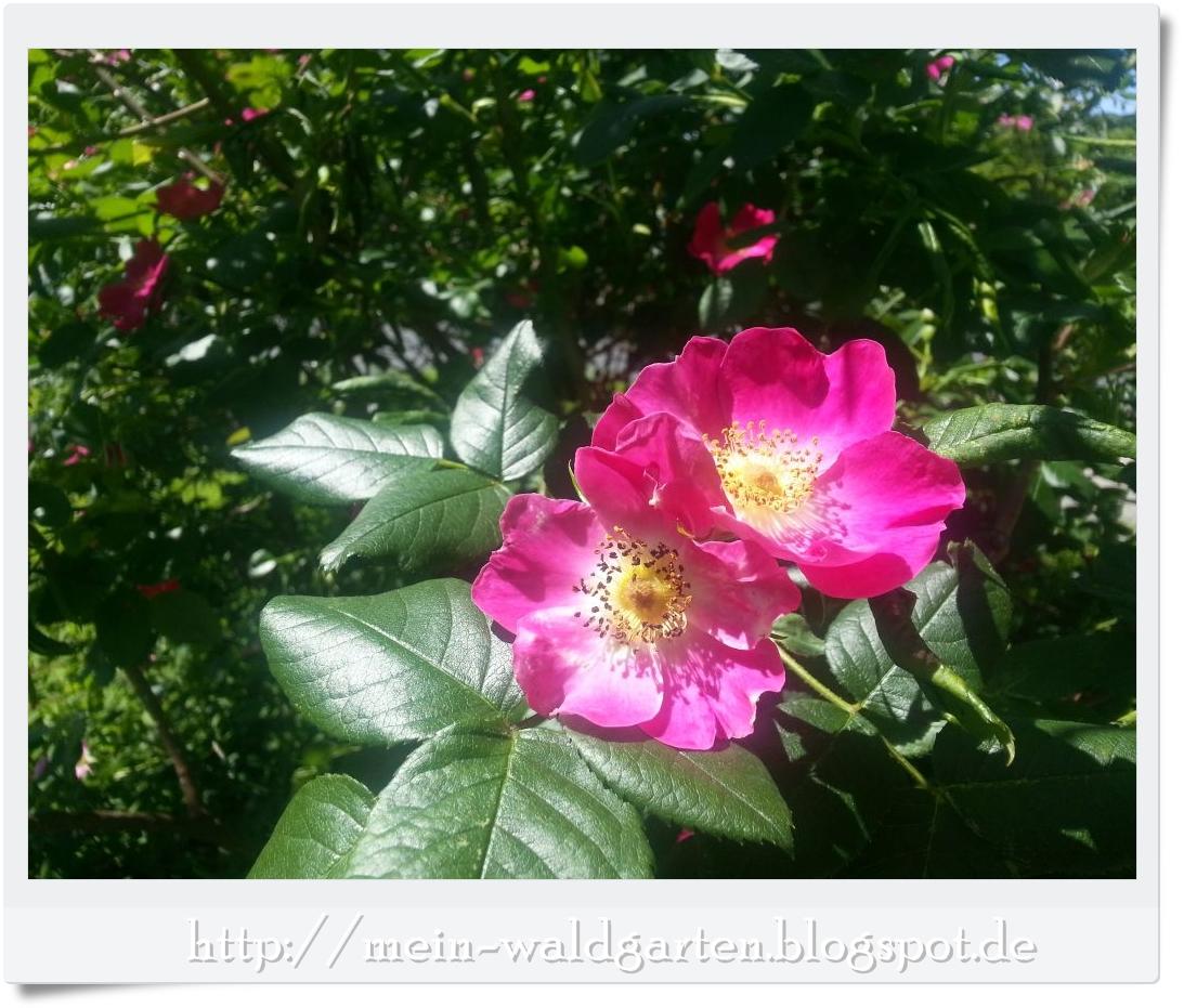 mein waldgarten rosen rosen rosen. Black Bedroom Furniture Sets. Home Design Ideas