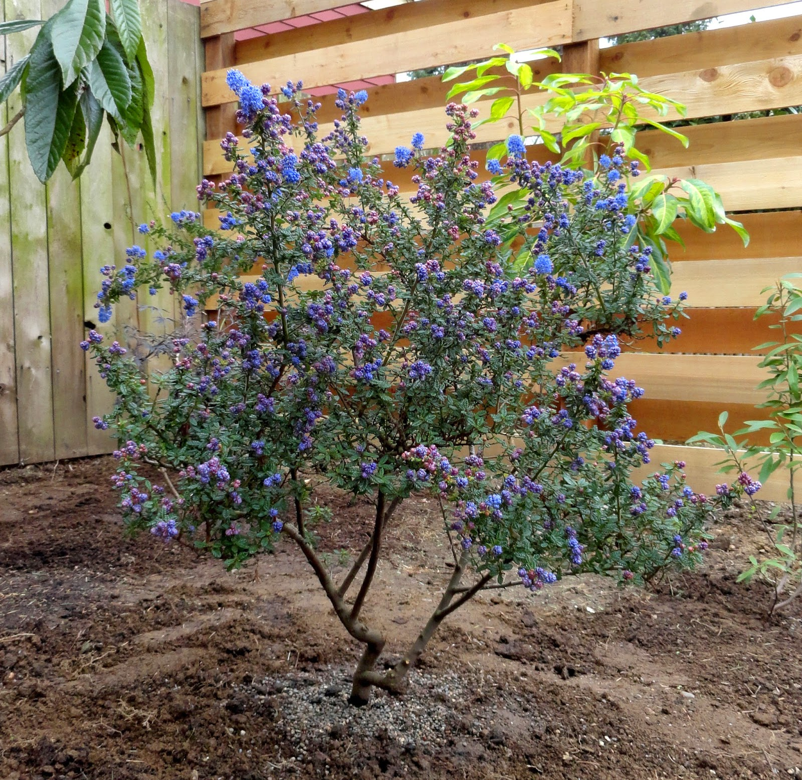 Danger garden ceanothus 39 dark star 39 is my favorite plant for Garden shrubs