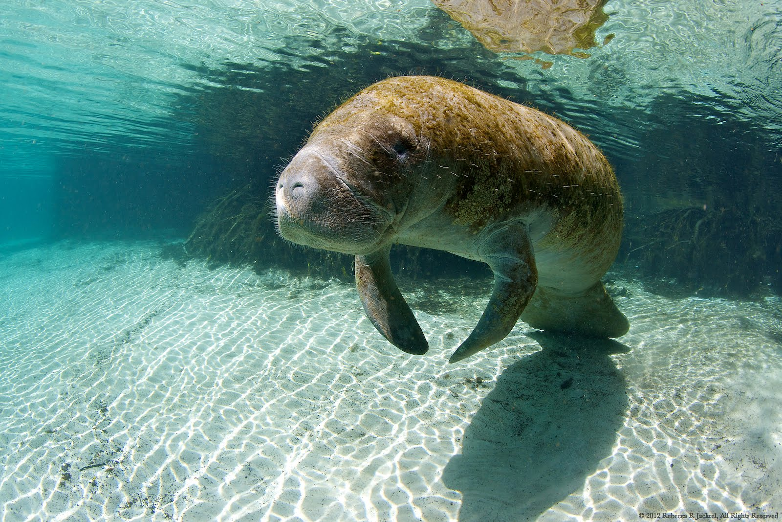 manatee essay As florida's human population increases and waterfront development continues,  manatees are losing the habitats they rely on to survive.