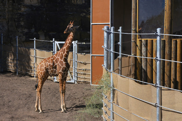 Giraffes are back at the San Antonio Zoo with a Savanna Feeding Experience