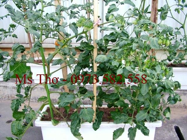 Đất sạch tribat trồng cà chua