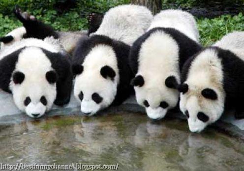 Four pandas.