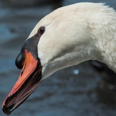 Katie the Swan, White Rock Lake