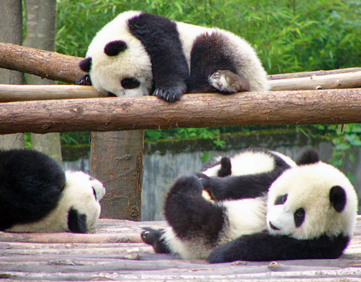images of cute baby pandas - photo #25